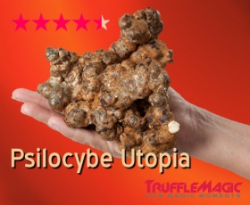 Psilocybe Utopia 20x Wholesale Trufflemagic